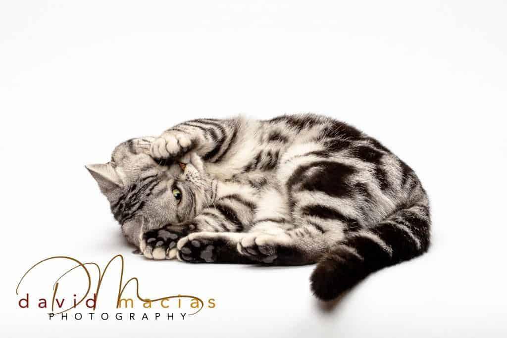 american shorthair kitten gallery