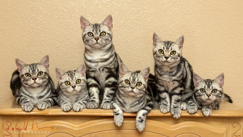 American Shorthair Kittens For Sale Silver Tabby