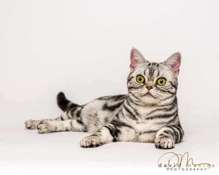 american shorthair female cat